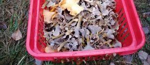 Kuvassa on punainen kori, jossa on sieniä.